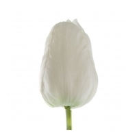 Tulip Parrot - White - Real Touch