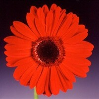Gerbera 'Beauty' Red