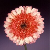 Gerbera 'Konfetti' Pale Pink with Dark Pink Centre