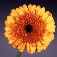 Gerbera 'Tiffany' Yellow with Orange Cetre