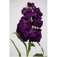 Stock 'Purple' Matthiola