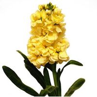 Stock 'Yellow' Matthiola