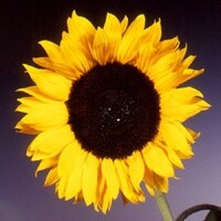 Sun Flower 'Helianthus'