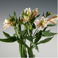 White with Pink Blush Alstroemeria