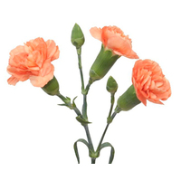 Spray Carnations Apricot 'Dianthus'