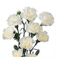 Spray Carnations White 'Dianthus'