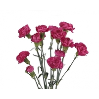 Spray Carnations Purple 'Dianthus'