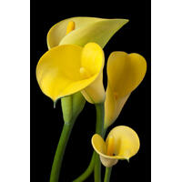 Cala Lily Yellow