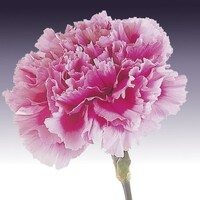 Carnation - Mid Pink