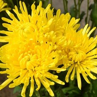 Chrysanthemum Yellow Spider