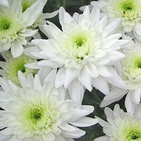 Chrysanthemum 'Arctic Queen'