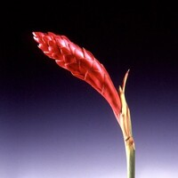 Ginger flower 'Red' Alpinia purpurata