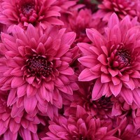 Chrysanthemum 'Dante Purple'
