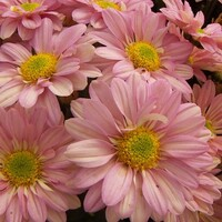 Chrysanthemum 'Dark Rosie Pink Regan'