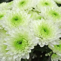Chrysanthemum 'Ibis'