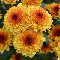 Chrysanthemum 'Lollipop Yellow'