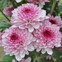 Chrysanthemum 'Lollipop Pale Pink'