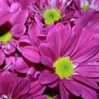 Chrysanthemum 'Pink Splendid Regan'
