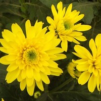 Chrysanthemum 'Sunny Euro Regan'