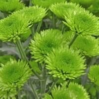 Chrysanthemum 'Verde'