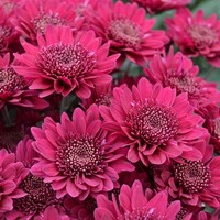 Chrysanthemum 'Viper'