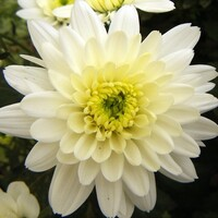 Chrysanthemum 'White Euro'