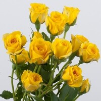 Yellow Spray Rose