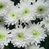 Chrysanthemum 'White Zembla'
