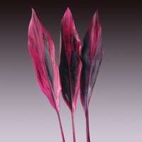 Cordyline 'Red'