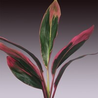Cordyline 'Tri Colour'